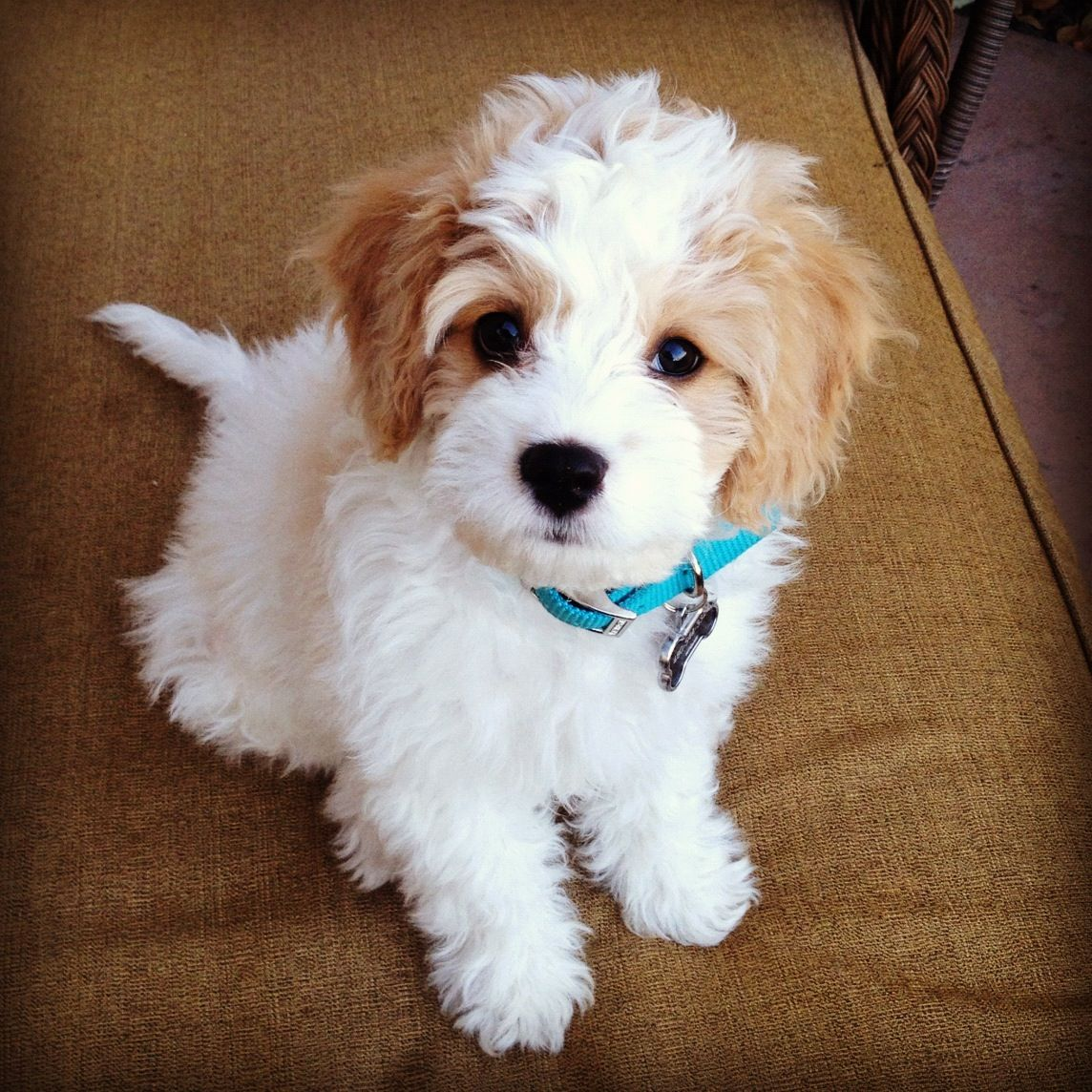 My new favorite dog cavachon animals adorbs for Fluffy little dog breeds