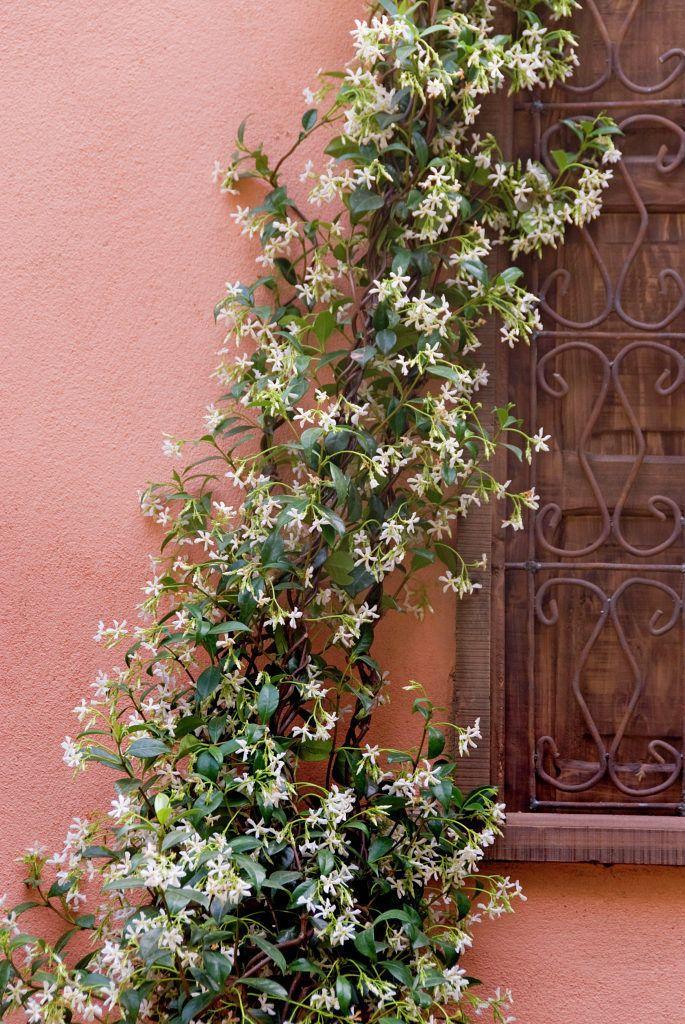 Kletterpflanze Immergrün immergrüne clematis kletterpflanzen garten