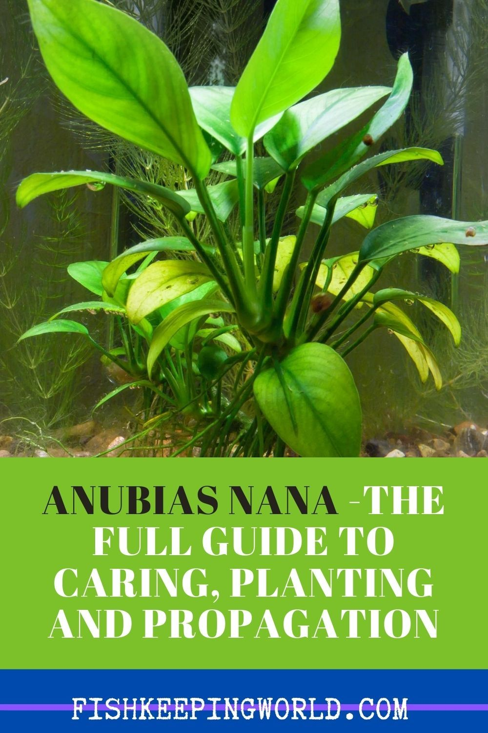 Anubias Nana The Full Guide To Caring Planting And Propagation In 2020 Plants Aquarium Design Fishing For Beginners