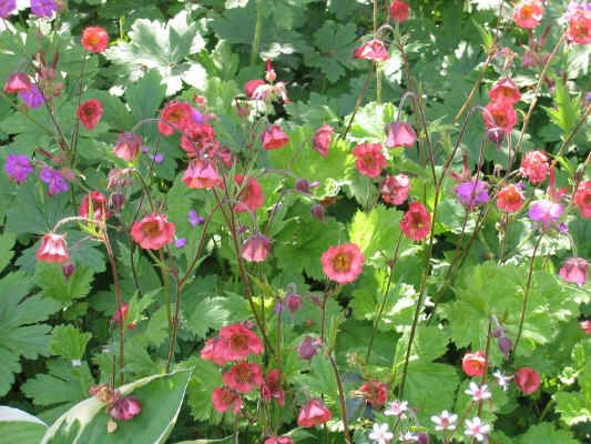 Geum rivale Leonard's Variety (with a geranium)