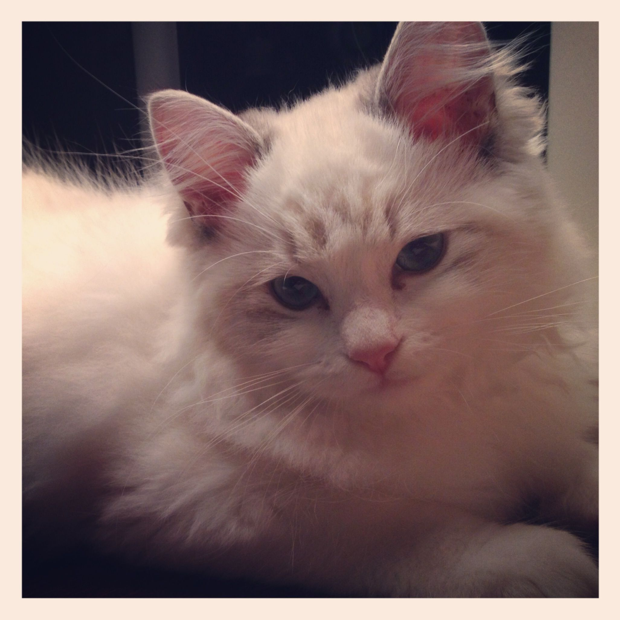 Miss Sprinkles At 4 Months Old Ragdoll Kitten Ragdoll Kitten Cute Animals Cute Cats Photos