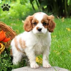 Cavalier King Charles Spaniel Puppies For Sale Greenfield Puppies King Charles Cavalier Spaniel Puppy Spaniel Puppies For Sale Cavalier King Charles Dog