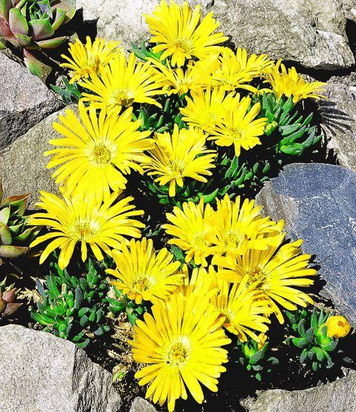 Goldtaler garten pinterest garten steingarten und bodendecker - Winterharte steingartenpflanzen ...