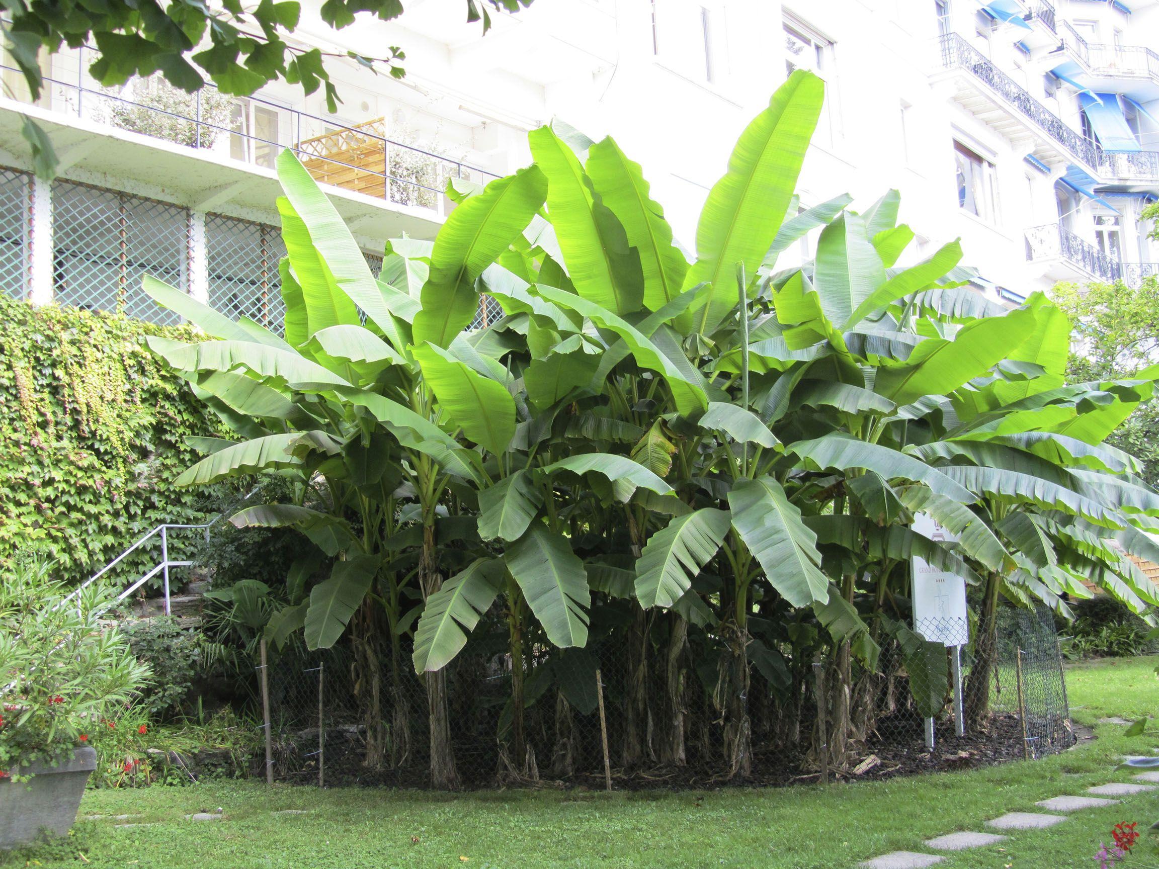 Cold Hardy Banana Tree At Backyard Fruit