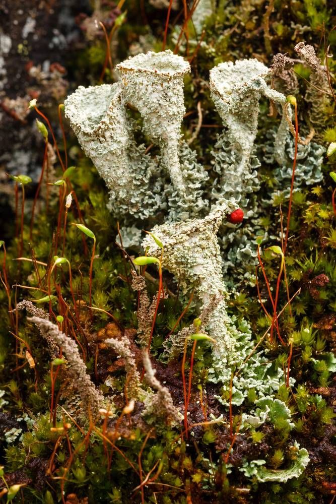 Cladonia lichens, also known as cup lichens, along with miniature moss grow on vertical rock in Karelian forest, Russia. (Photo: Gregory A. Pozhvanov/Shutterstock)