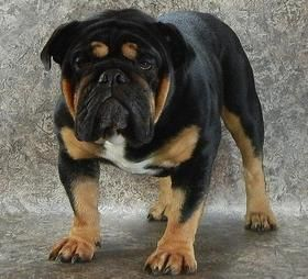 Black Swamp Bulldogs Ohio Rare Bulldog Breeder Black Black