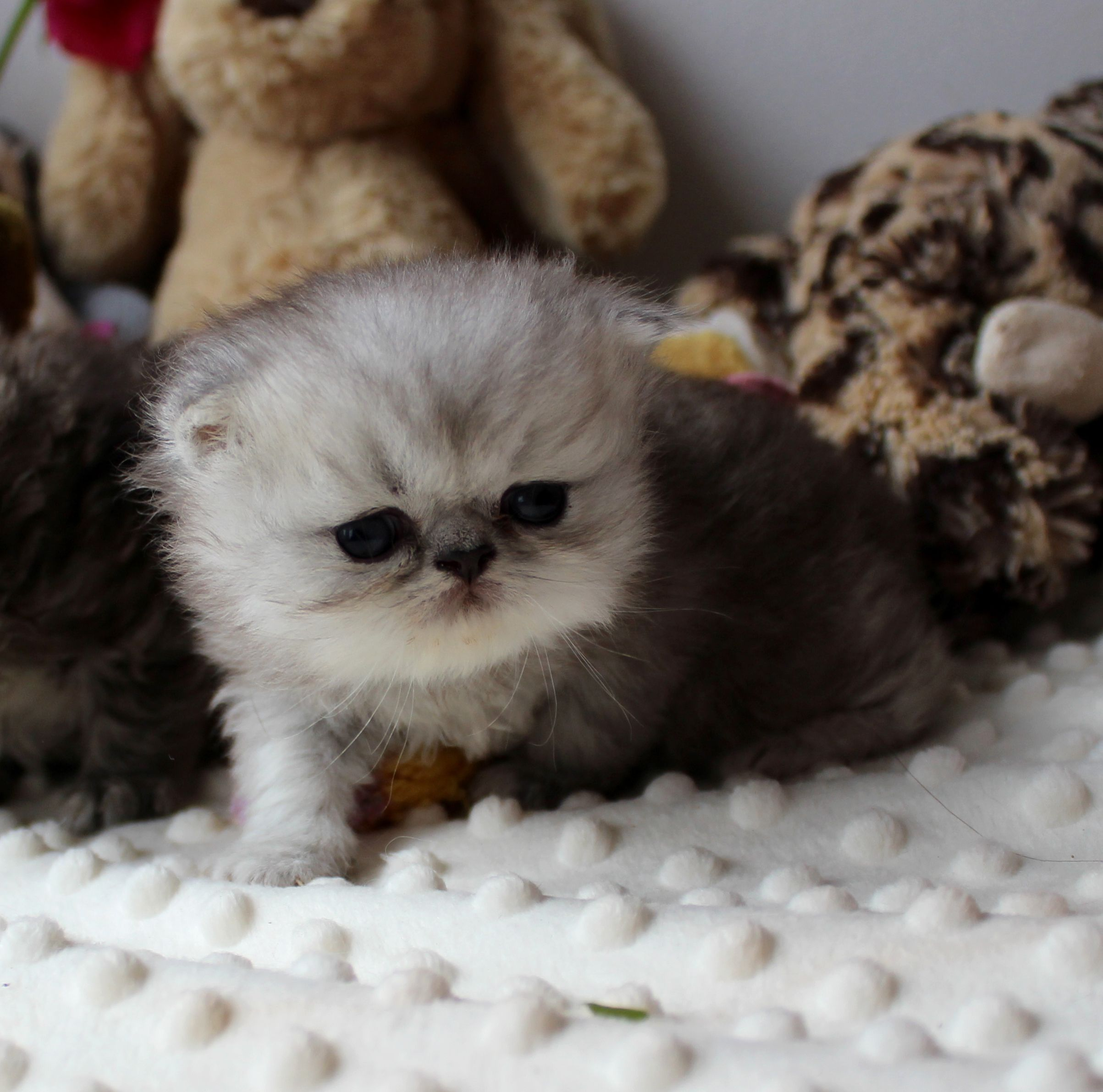 Vevosa S Icka Here At 3 Weeks Now This Little Man Is Cute Cute Cute Silver Shaded Persian Baby Boy S Cute Cats Cute Animals Kittens Cutest