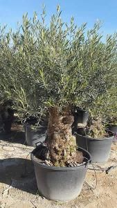 Large Bonsai Style Old Olive Trees For Sale Uk Olive Trees Garden Olive Trees For Sale Garden Trees