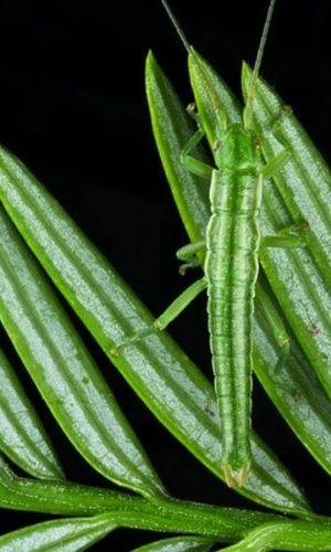Bicho-pau (Timema poppensis) camuflado entre as folhas de uma sequoia na Califórnia