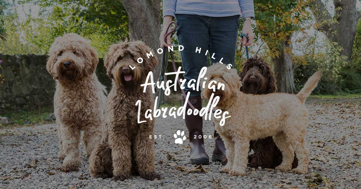 Beautiful Australian Labradoodle Puppies For Sale From The Heart Of Scotland As Well As Breeders Labradoodle Australian Labradoodle Puppies Labradoodle Puppy
