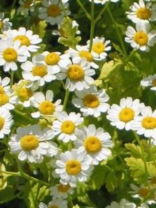 Oderings Herb Feverfew The Attractive Flowers Can Be Dried And Used In Pot P Insect Repellent Plants Chrysanthemum Flower Seeds Mosquito Repelling Plants