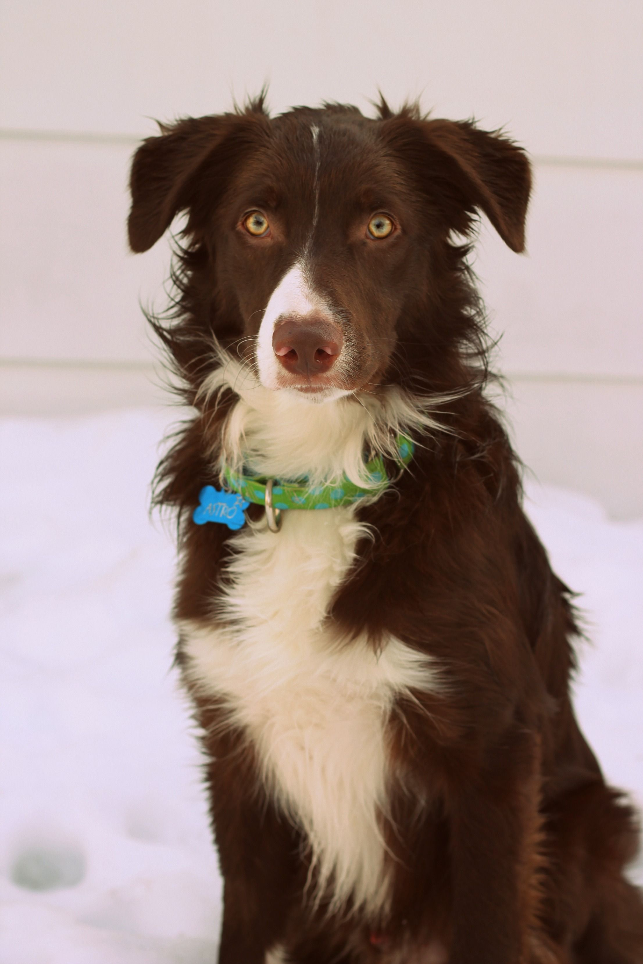 Red And White Border Collie Puppy Collie Puppies Border Collie Border Collie Puppies