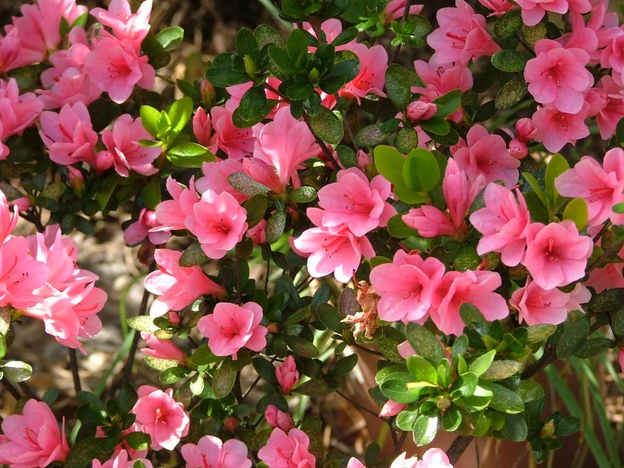 How to Grow Azaleas Azaleas landscaping, Flower pot