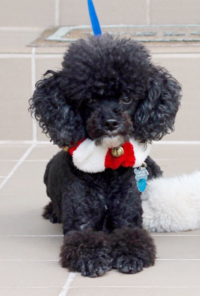 Teacup Dogs Tiny Dog Breeds With Huge Personalities Teacupdogdaily Toy Poodle Haircut Toy Poodle Toy Poodle Black