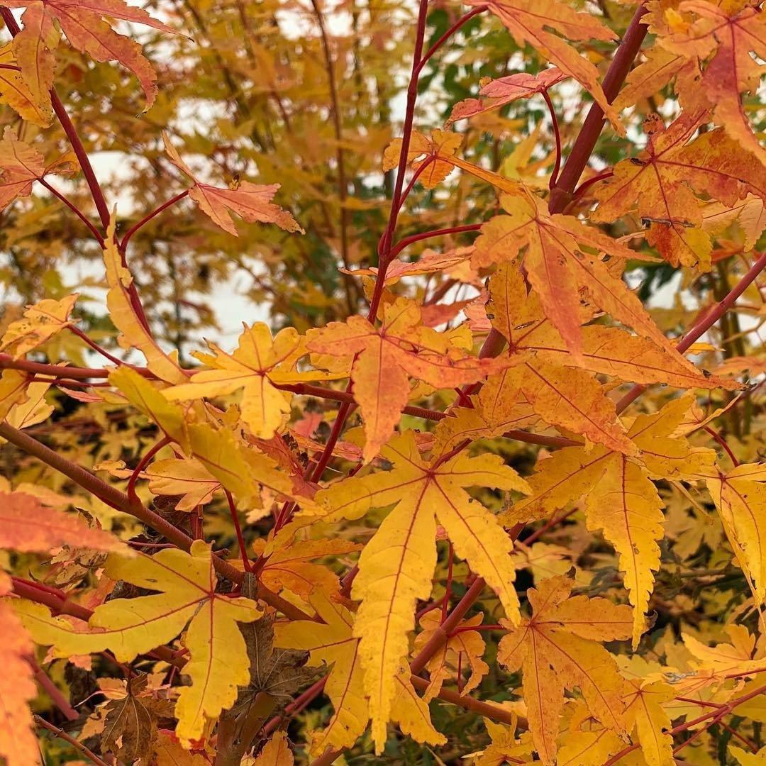 Acer Palmatum Wildfire Coral Bark Winter Interest Japanese Maple