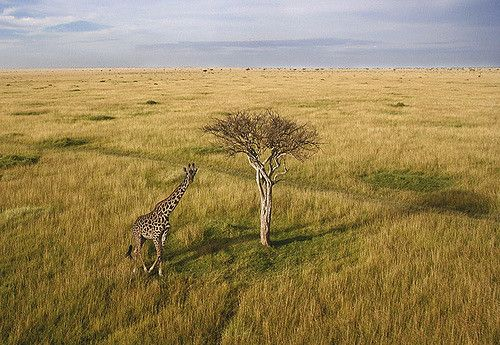A lone tree casts a long shadow, spotted during an aerial flight over the Mara