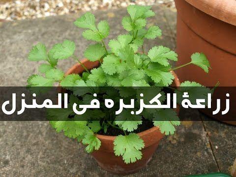 طريقة زراعة الكزبرة في المنزل من الكزبرة العادية الموجودة في المنزل Youtube Organic Plants Planting Herbs Cilantro Plant