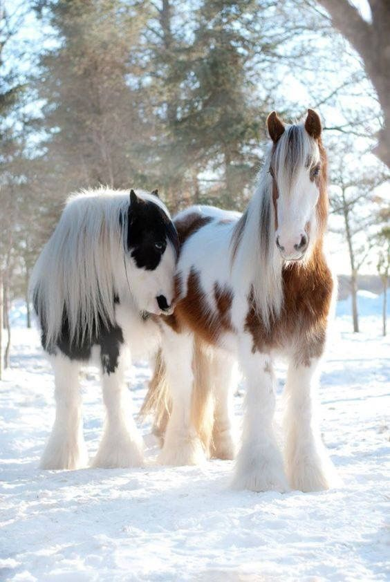 Pretty Gypsy Vanner horses in the snow. Fuzzy beautiful horse winter dream.