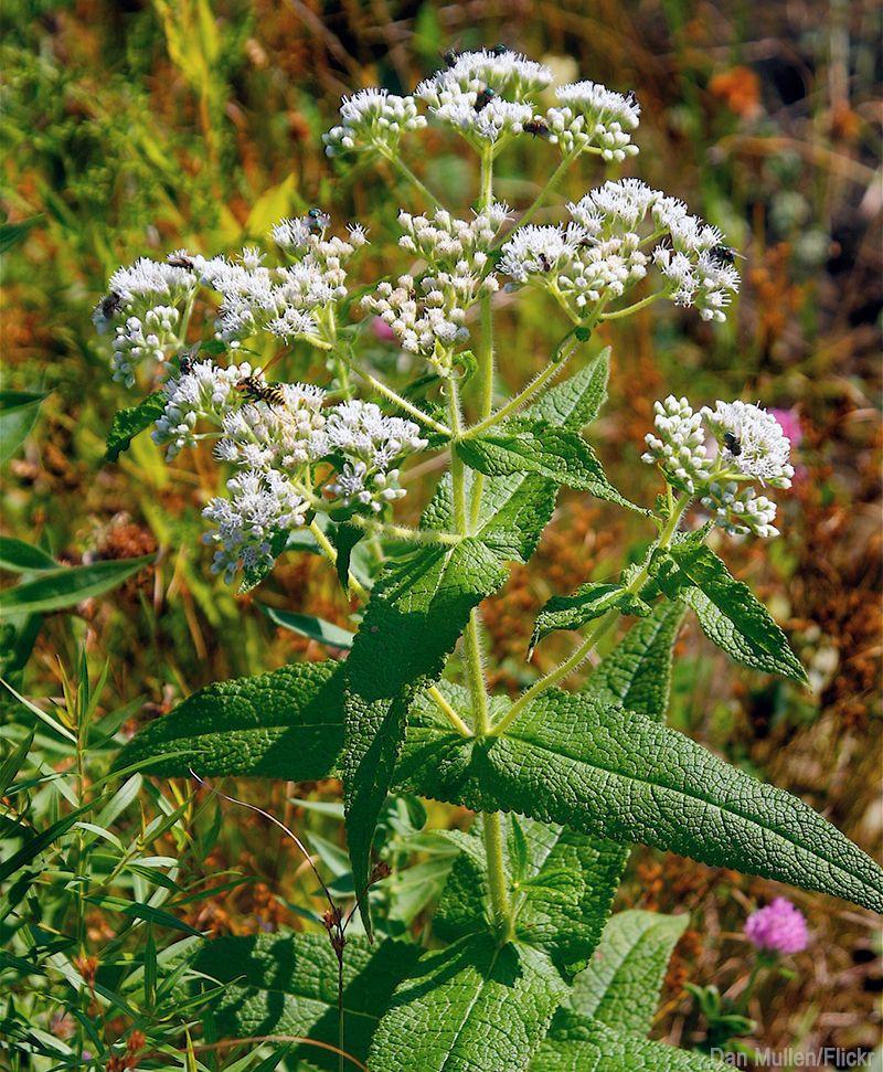 The Bone Healing Properties Of Boneset Herbal Plants Planting