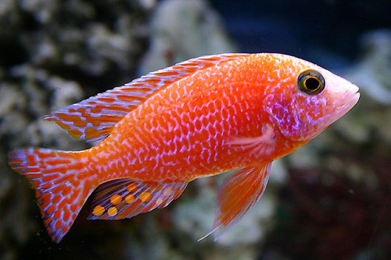 Very colorful freshwater aquarium fish - Fish Colorful Beautiful Animals World Altered Pretty Colorful Fish Freshwater Aquarium