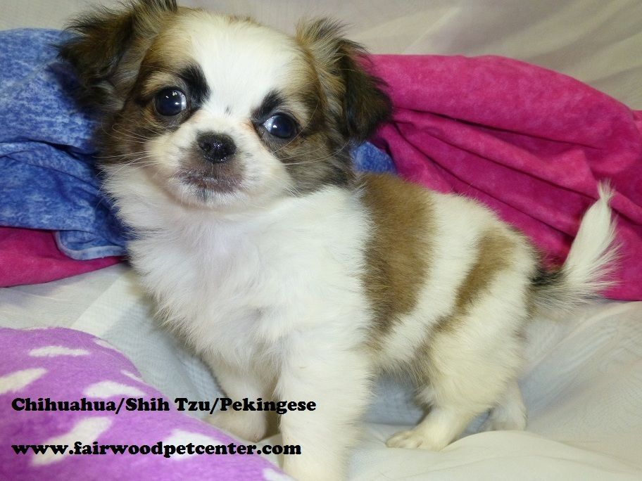 chihuahua peke mix male chihuahua shih tzu pekingese our puppies 3138