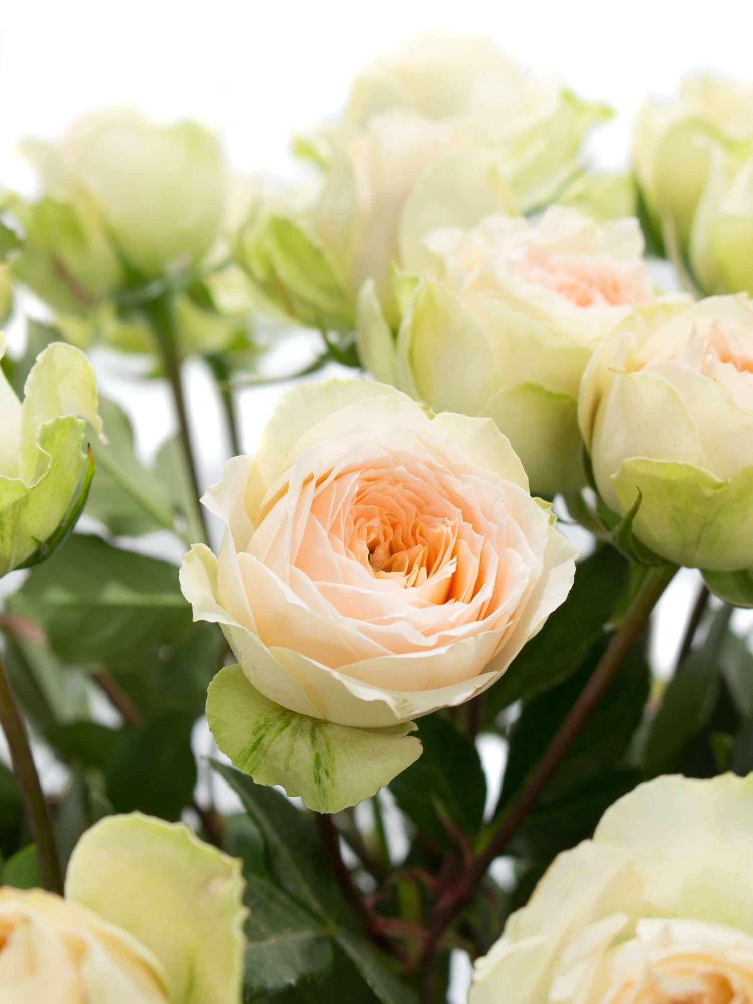 Rosen verzweigt Pavlova cremeapricot  Hochzeit