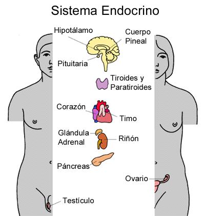 Resultado De Imagen Para Dibujo Del Sistema Endocrino Sistema Endocrino Psicobiologia Timo Glandula