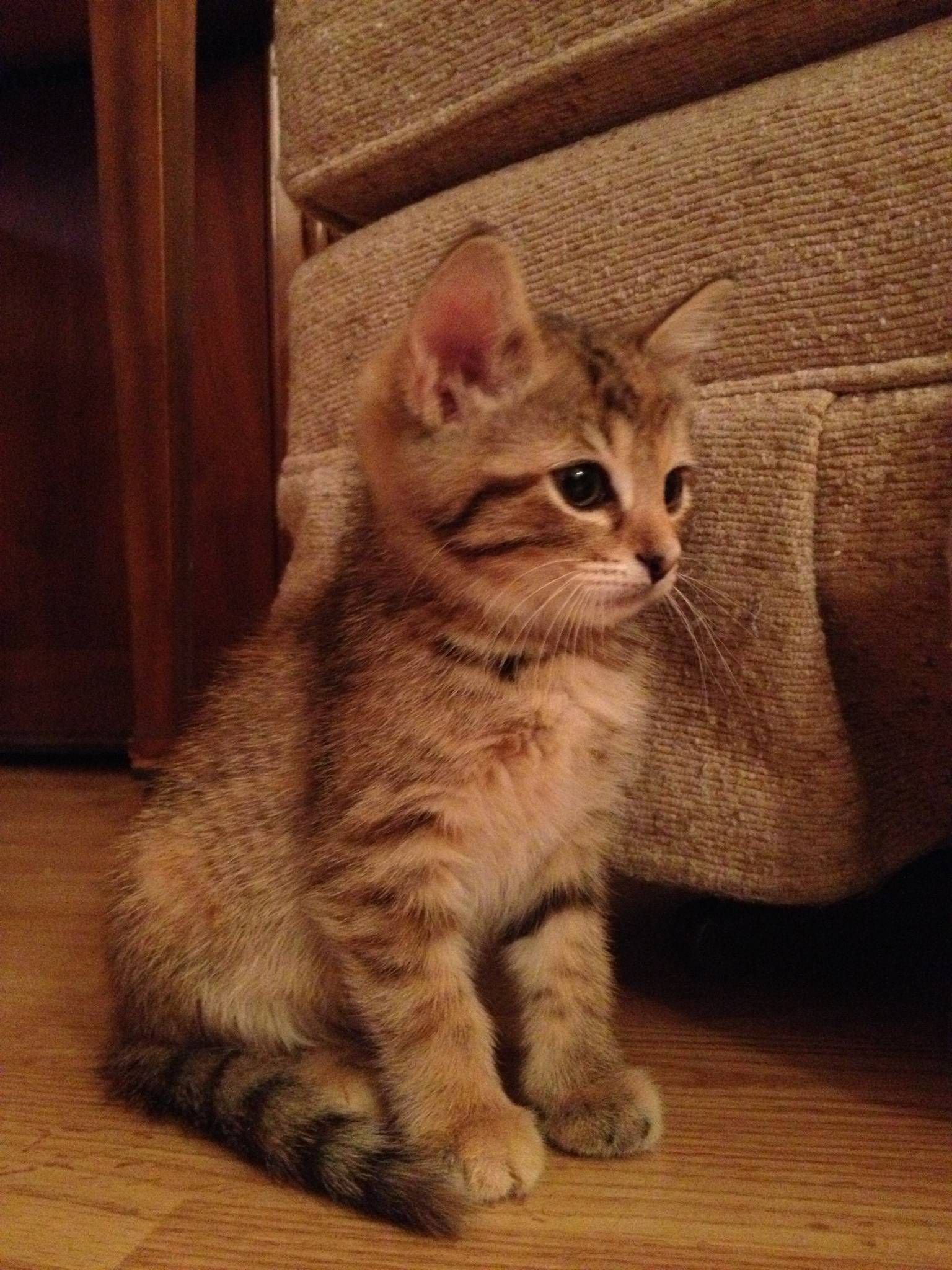 My Grandmother S New Kitten Turns Out He S 6 Months Old And Won T Be Getting Any Bigger Want So Bad Tabby Kitten Kitten Kitten Names Girl
