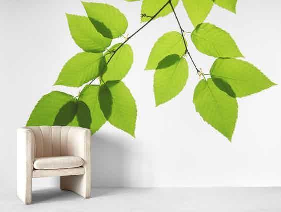 Birch Tree 1 Wallpaper