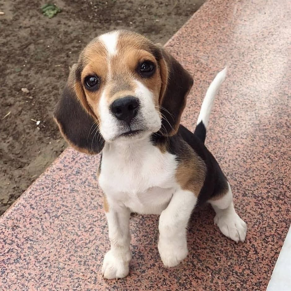 Beagle Corner On Instagram Say Hello To Bazzigar Everyone Credit Baazigar Beagle Tag Your Beagle Puppy Cute Beagles Cute Dogs And Puppies