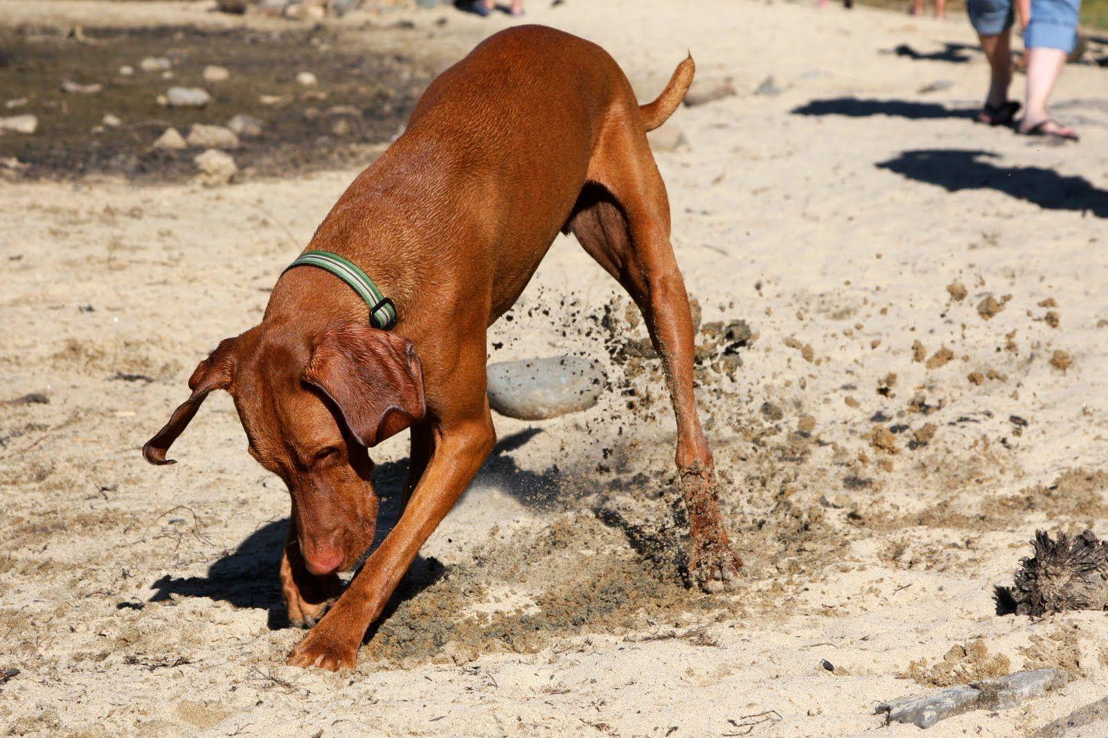 vizsla digging