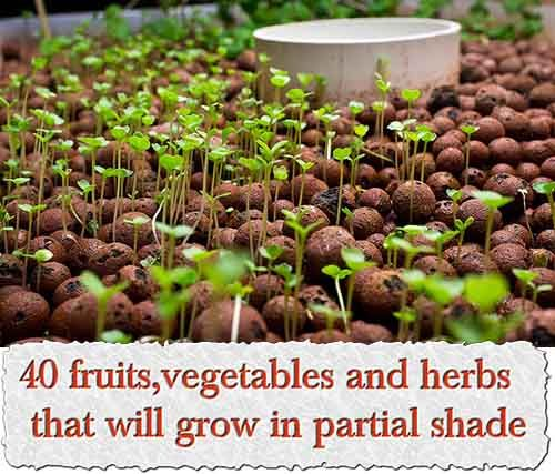 40 Fruits Vegetables And Herbs That Will Grow In Partial 400 x 300