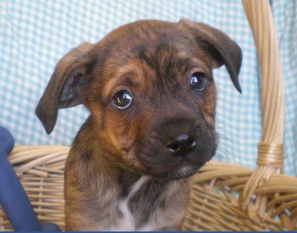 Puggle Mix Pup Available At Humane Society Of Southwest Michigan 269 927 3303 3 16 12 Humane Society Pup Animals