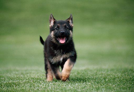 Adopting A German Shepherd Dog From An Animal Shelter Animal
