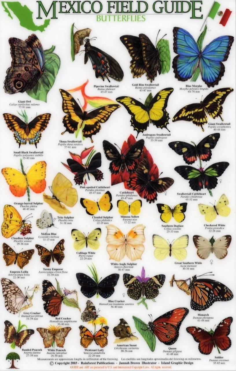 342005d8f9 butterfly identification guide - - Yahoo Image Search Results ...