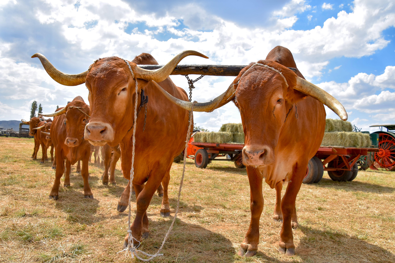 Afrikaner Cattle Origin, Characteristics & Uses Cattle
