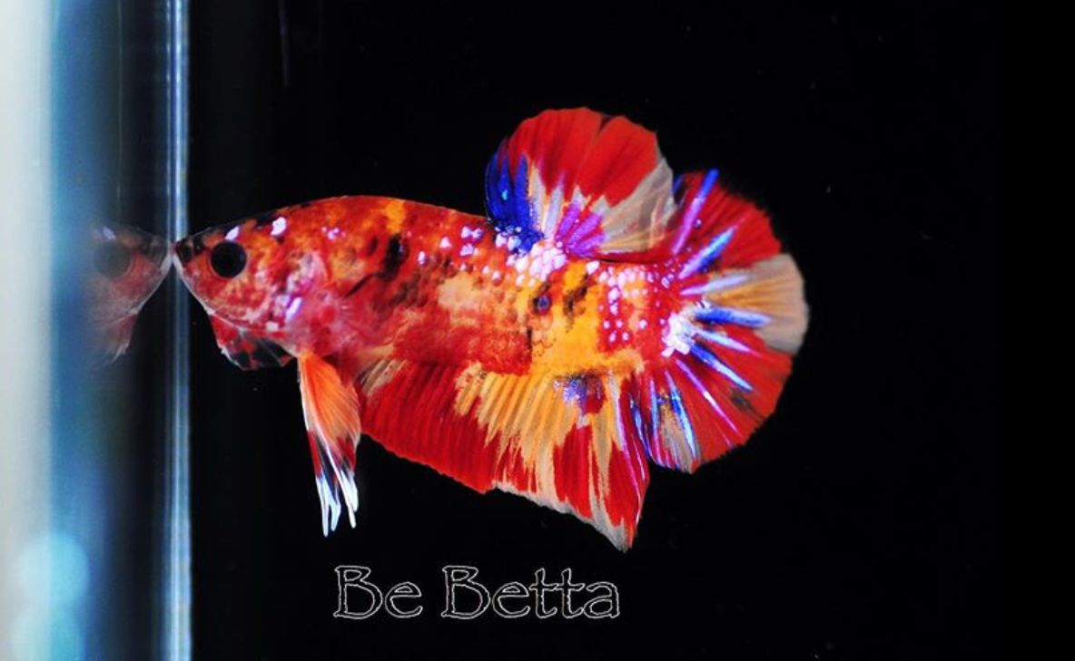 #bebetta #by_be_betta #fish #bettafish  #betta #fancy #koi #koifish #hm #hmpk
