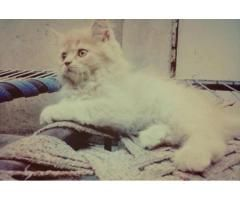 Persian Male Cat For Sale Exchange Possible With Female
