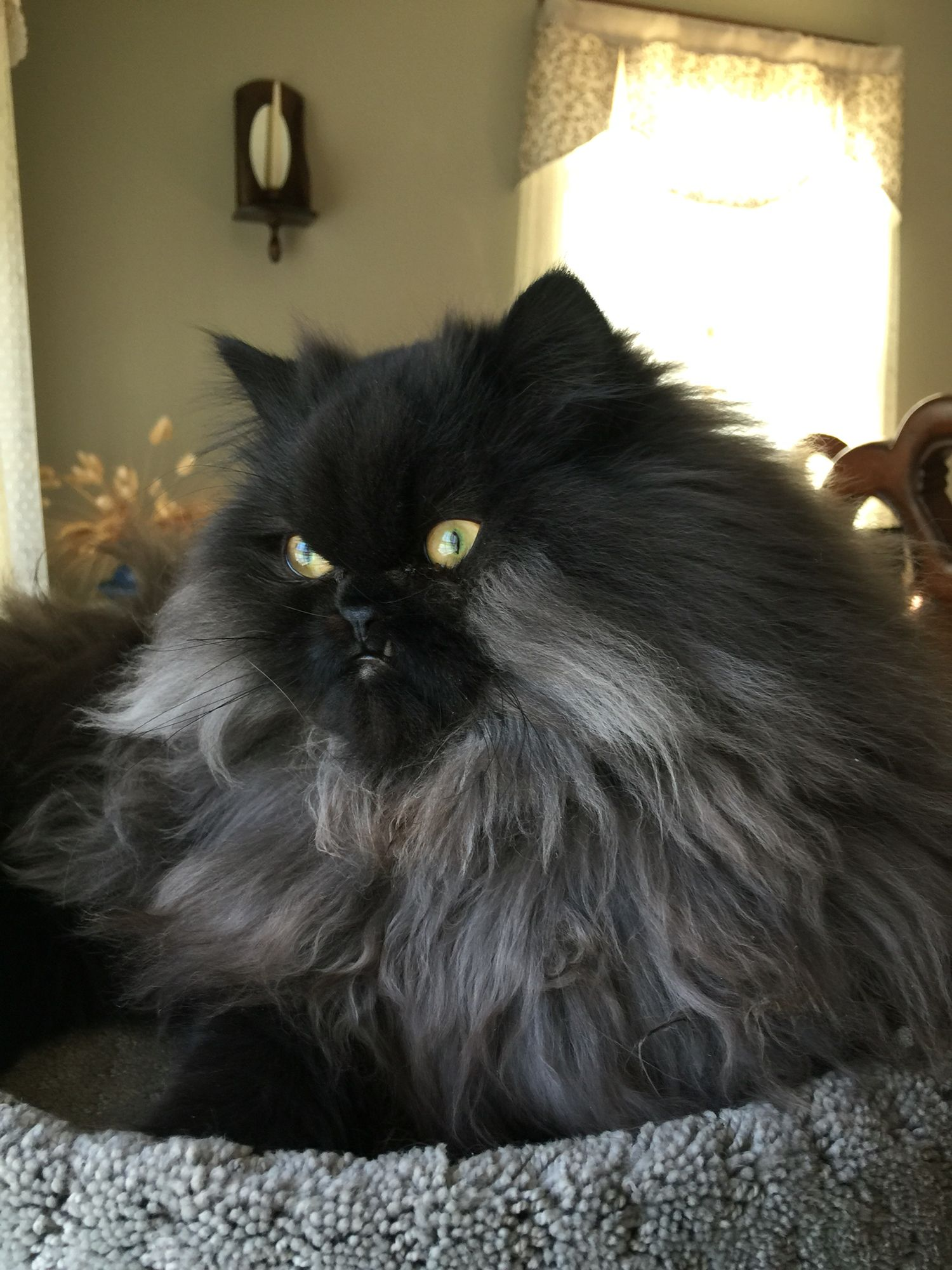Vader Smoke Black Persian Persian Cats Pinterest