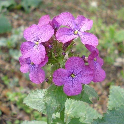 Tips : Les fleurs violettes | Monnaie du pape, Petites fleurs violettes, Fleurs violette