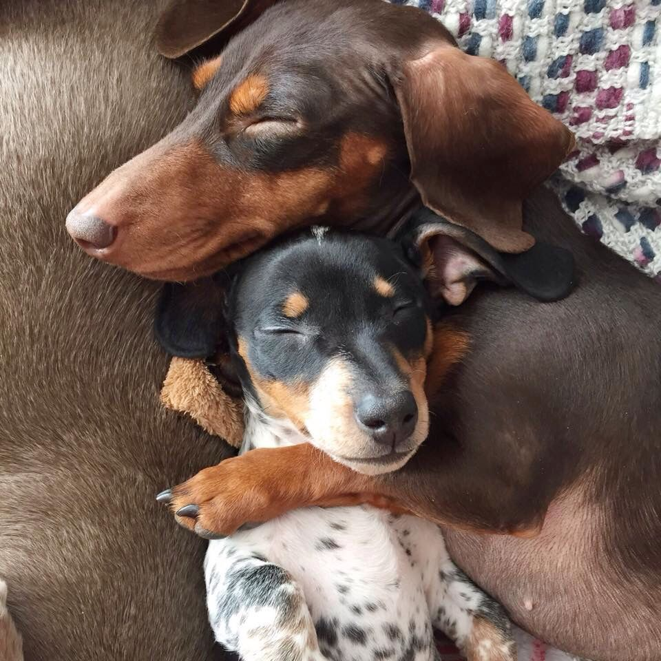 Indiana and Reese Dachshund dog, Cute puppies, Dachshund