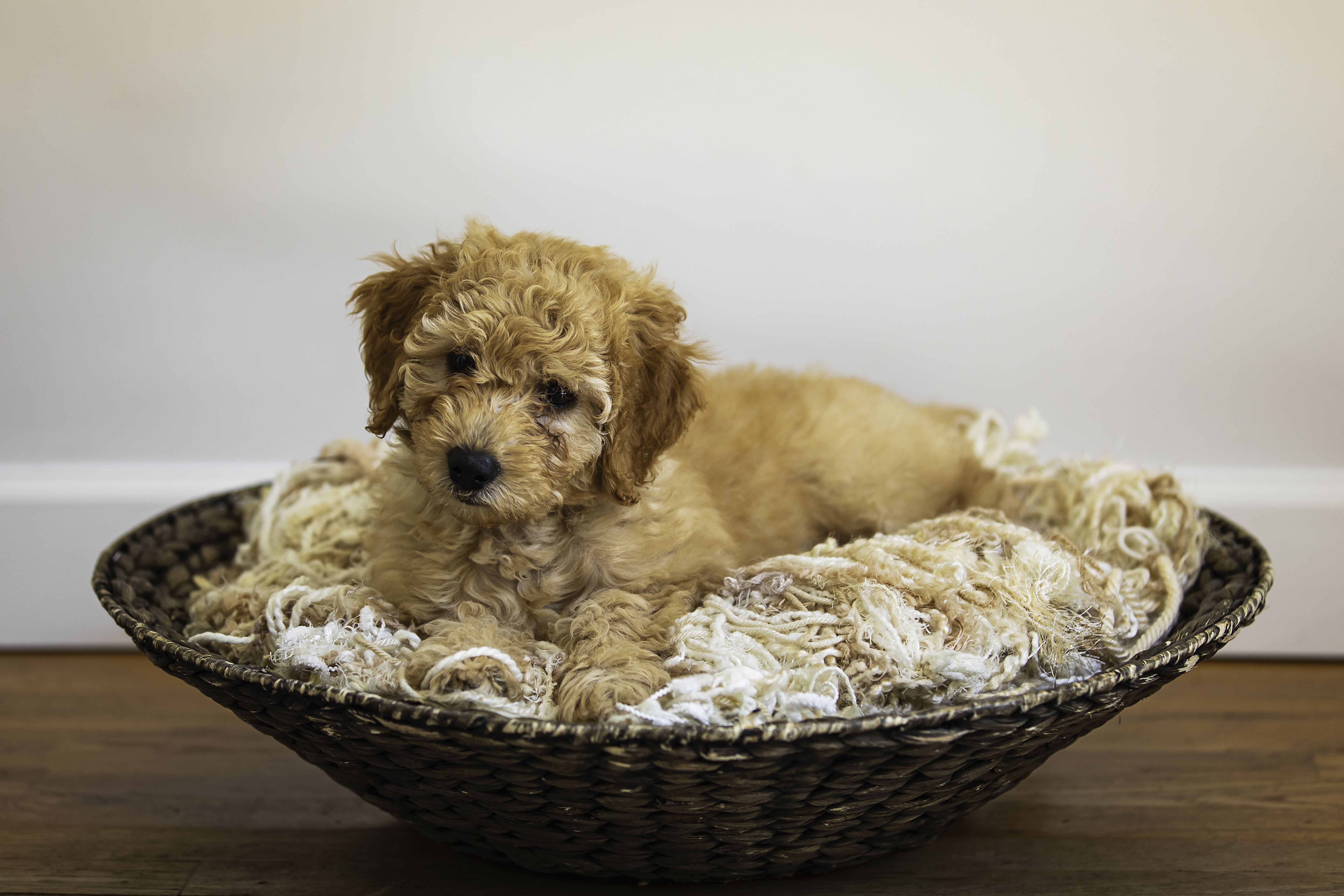 Indy the cutest dog in town goldendoodle puppy doodle