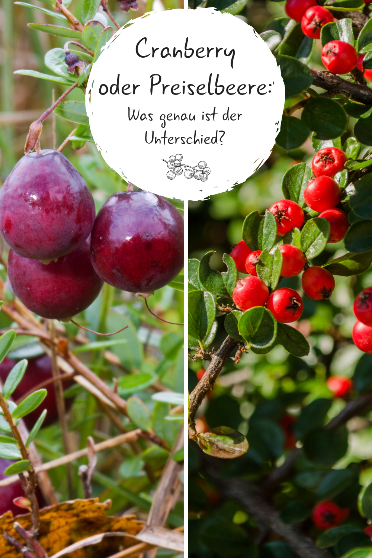 Cranberry Oder Preiselbeere Was Genau Ist Der Unterschied Woran Erkennt Ihr Den Unterschied Zwischen Den Beiden B Straucher Pflanzen Cranberry Preiselbeeren