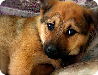 Memphis, TN - Shepherd (Unknown Type)/German Shepherd Dog Mix. Meet Amelia a Puppy for Adoption.