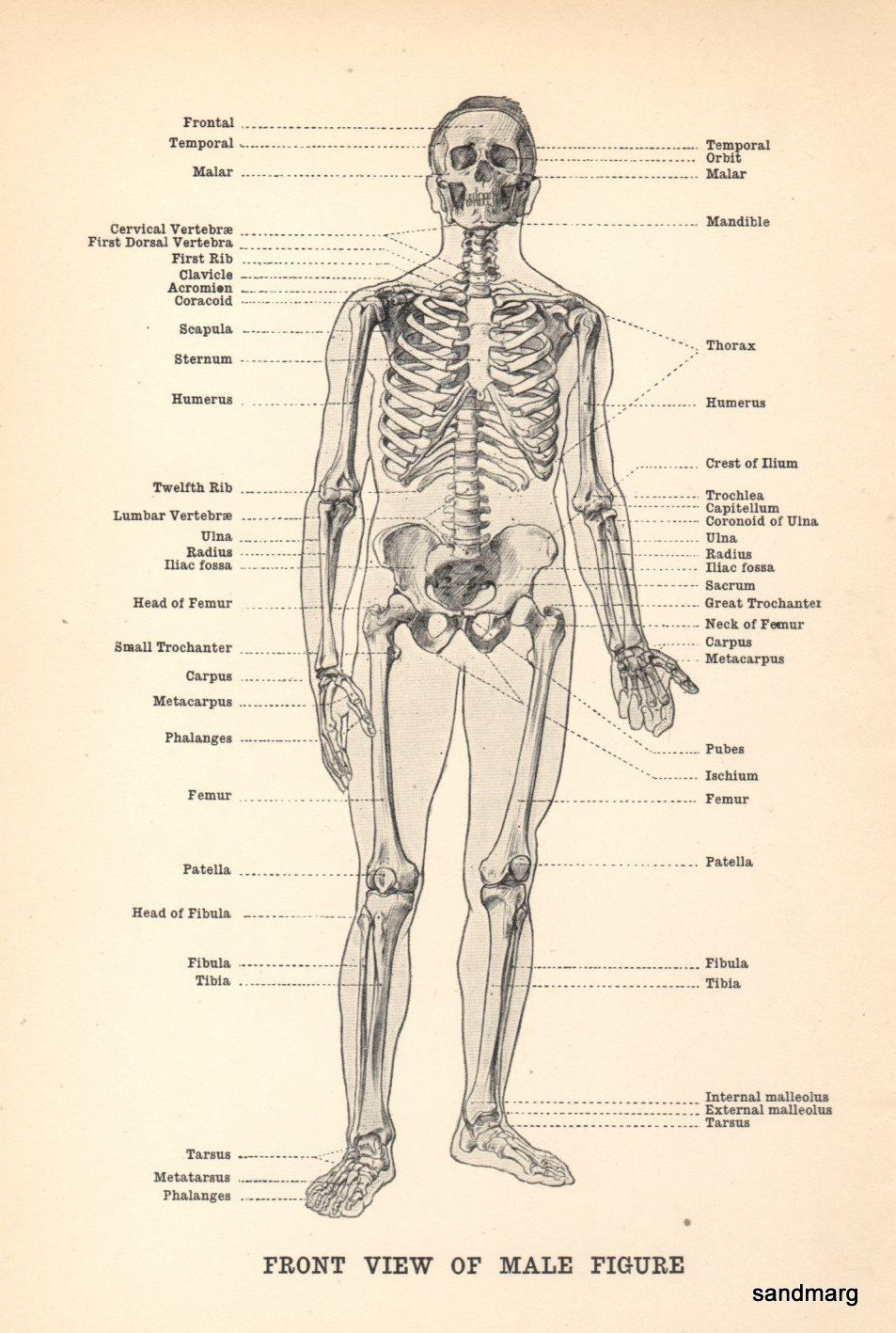Human Anatomy Front View of Male Figure Skeleton 1911 | Anatomía ...