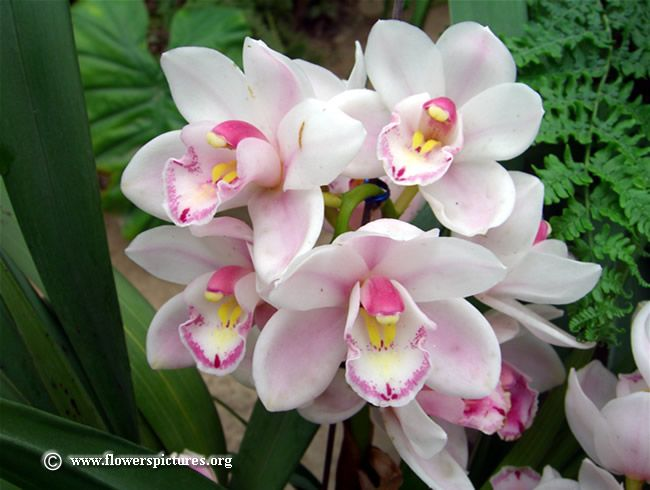 Cymbidium Photos Free Cymbidium Pictures Free Cymbidium Photos Orchid Flower Orchids Flowers