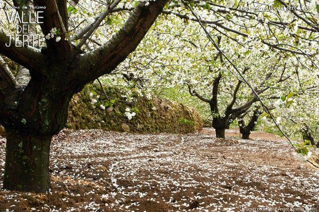 Lluvia de Pétalos en el Valle del Jerte