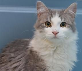 Thunder Is An Adoptable Domestic Long Hair Gray And White Cat In Eugene Or Thunder Is An Affectionate Adventurou Tabby Cat Grey And White Cat Cute Animals