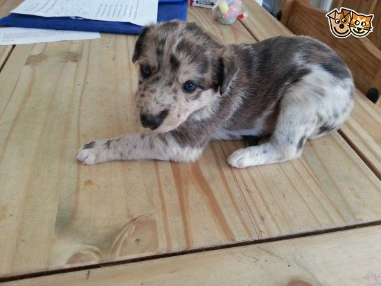 Red And Blue Merle Lurcher Puppies Lurcher Blue Merle Puppies