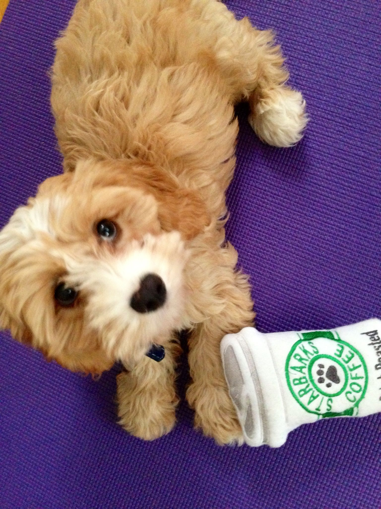 Morning Yoga And Starbarks With Mom Cavapoo Puppy Puppy Time Cavapoo Puppies Poodle Mix